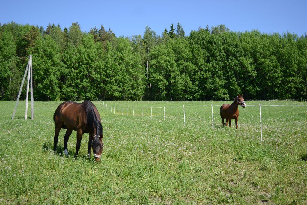 Ylhäisten tilan hevoset laitumella